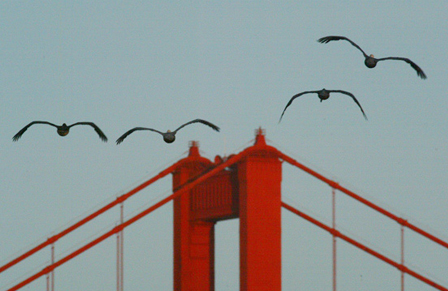 Golden Gate birds